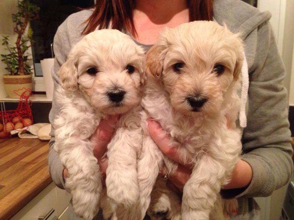 Dachshund Poodle Mix White