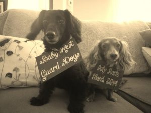 Dachshund Pregnancy Announcement