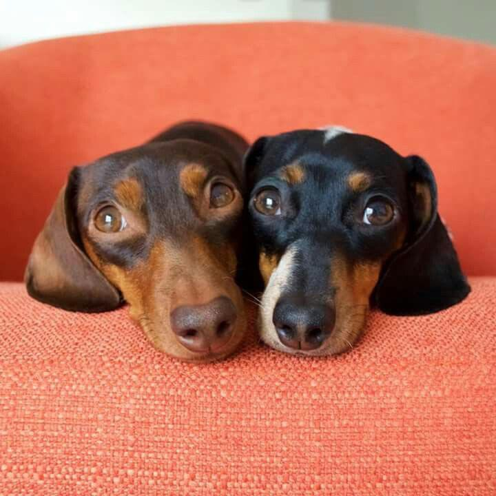 Dachshund Pregnancy Calculator