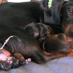 Dachshund Pregnancy Duration
