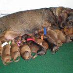Dachshund Pregnancy How Many Puppies