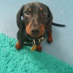 Dachshund Pregnancy Symptoms