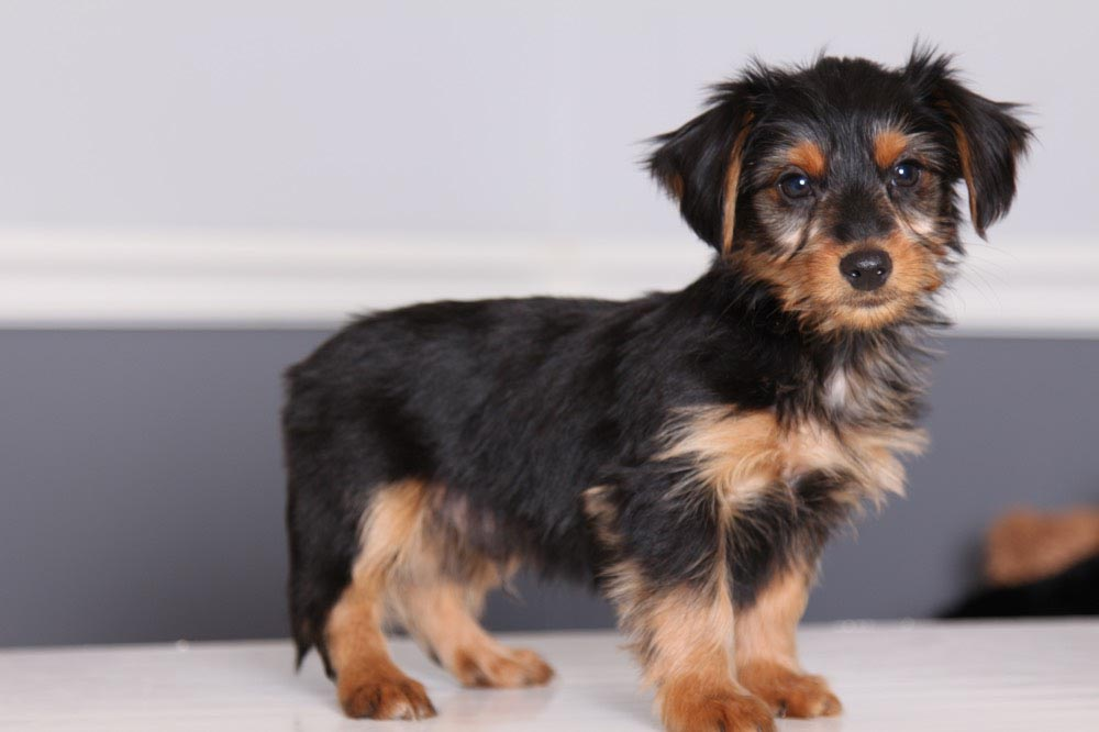 Dachshund Yorkie Poodle Mix Dog Breed Information