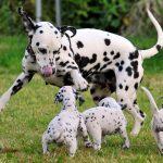 Dalmatian Dachshund Mix Breeders