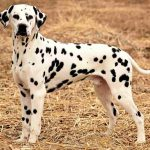 Dalmatian Dachshund Mix Puppies