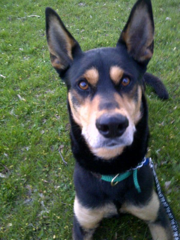 Doberman Husky Cross