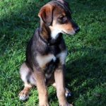 Doberman Husky Mix Size