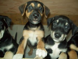Doberman Husky Puppies