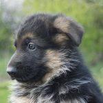 Dry Skin on German Shepherd Puppy