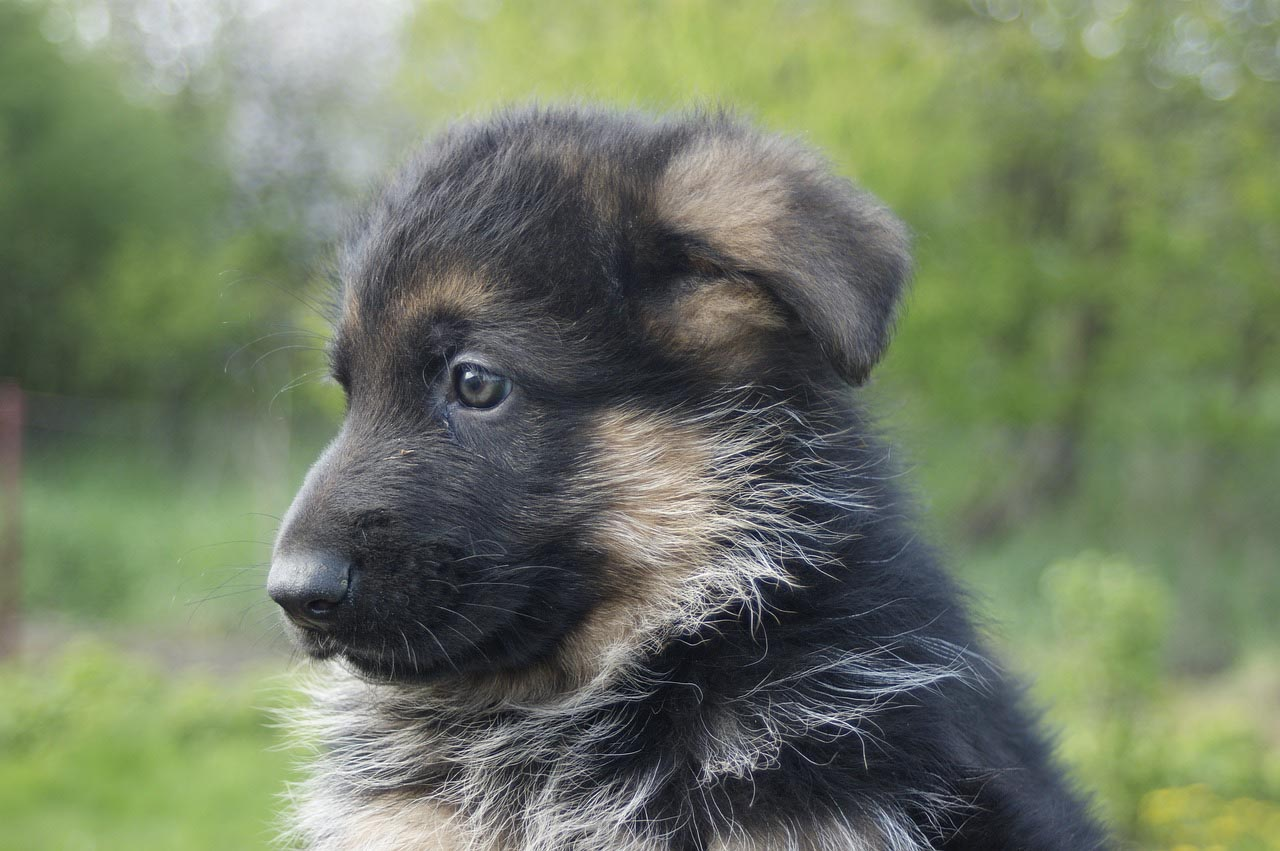 Dry Skin on German Shepherd Puppy
