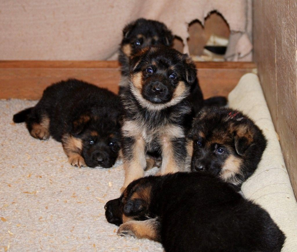 Feeding 3 Week Old German Shepherd Puppies