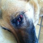 German Shepherd Allergies Eyes