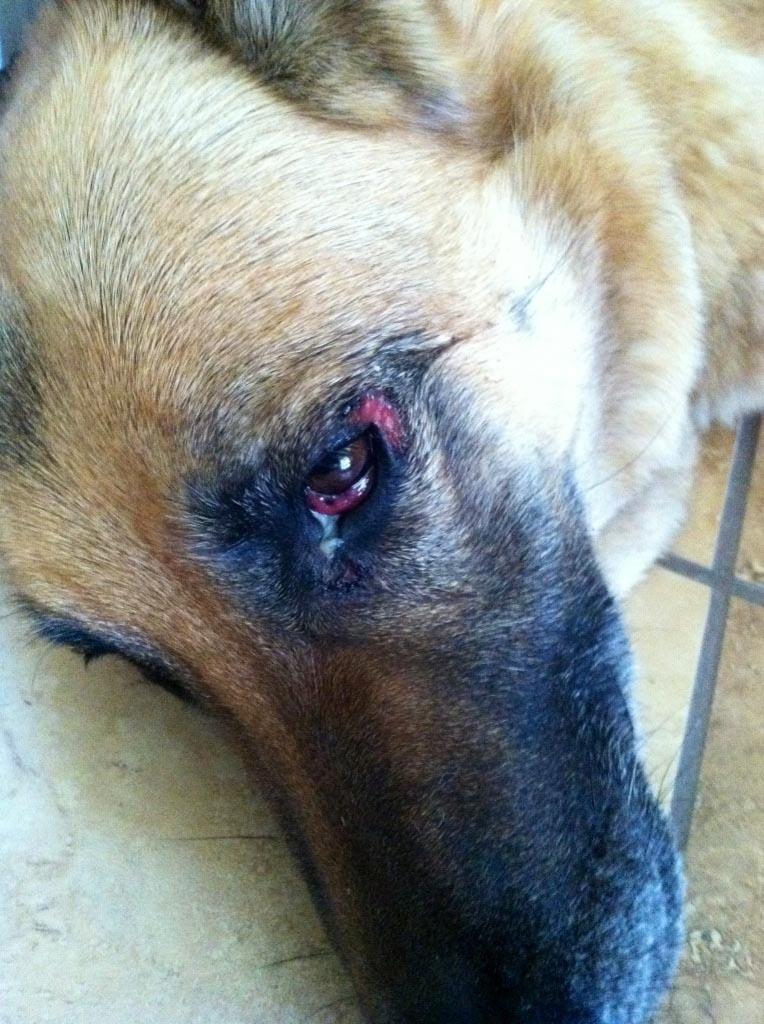 German Shepherd Allergies Eyes
