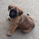 German Shepherd and Mastiff Mix