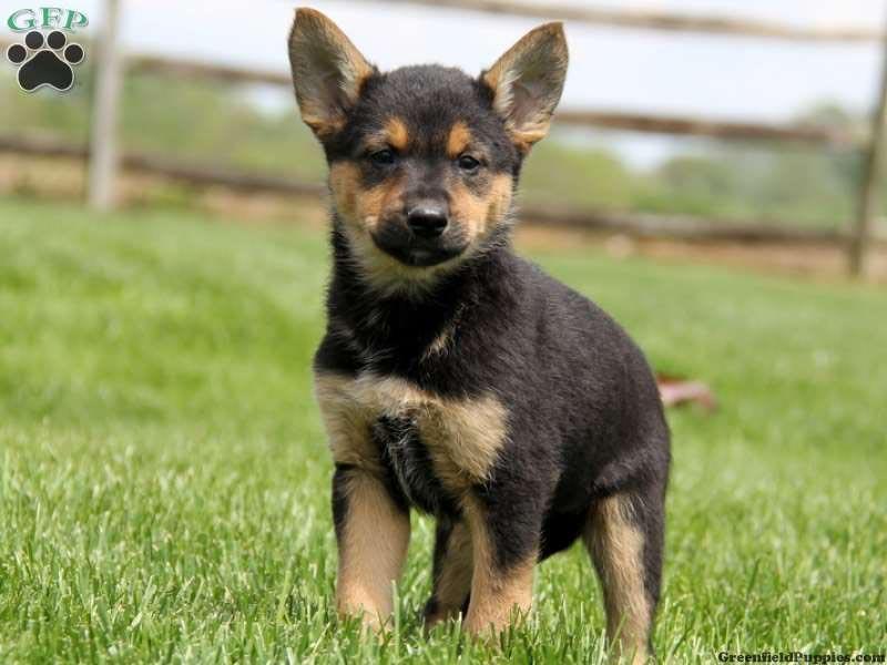 German Shepherd Chihuahua Puppies