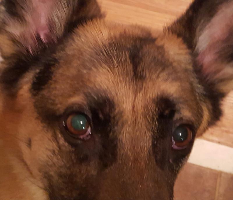German Shepherd Eye Problems Pannus