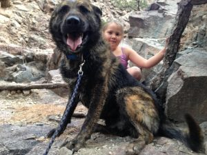 German Shepherd Mastiff Mix Brindle