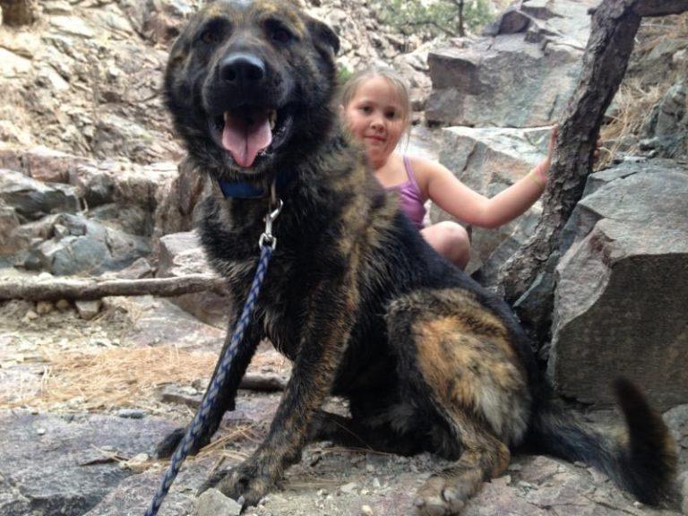 German Shepherd Mastiff Mix Brindle
