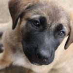 German Shepherd Mastiff Mix Dogs