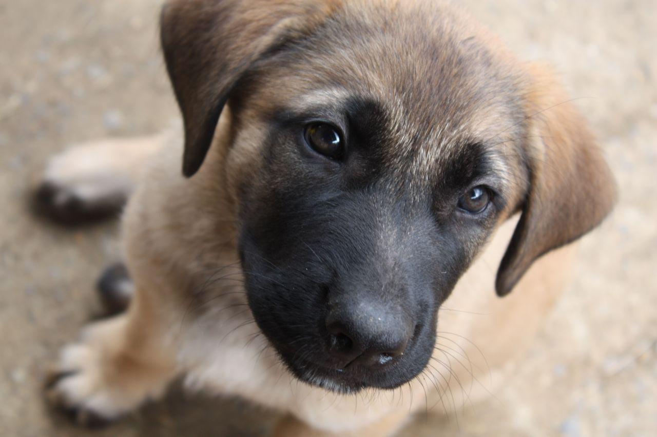 German Shepherd Mastiff Mix Dogs
