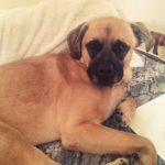 German Shepherd Mastiff Mix Full Size