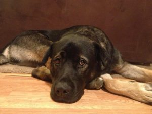 German Shepherd Mastiff Mix Lifespan