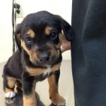 German Shepherd Mastiff Mix Size