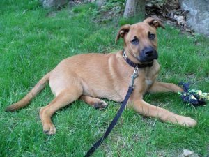 German Shepherd Mastiff Mix Temperament