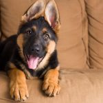German Shepherd Mastiff Mix Weight