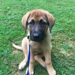 German Shepherd Mastiff Puppies