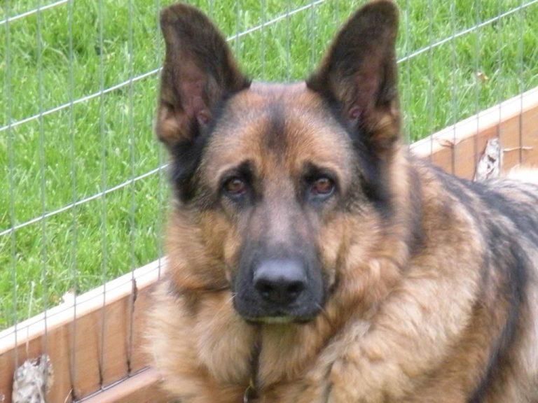German Shepherd Puppy Vision Problems