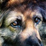 German Shepherd Vision Problems