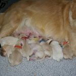 Golden Retriever Pregnancy Calendar