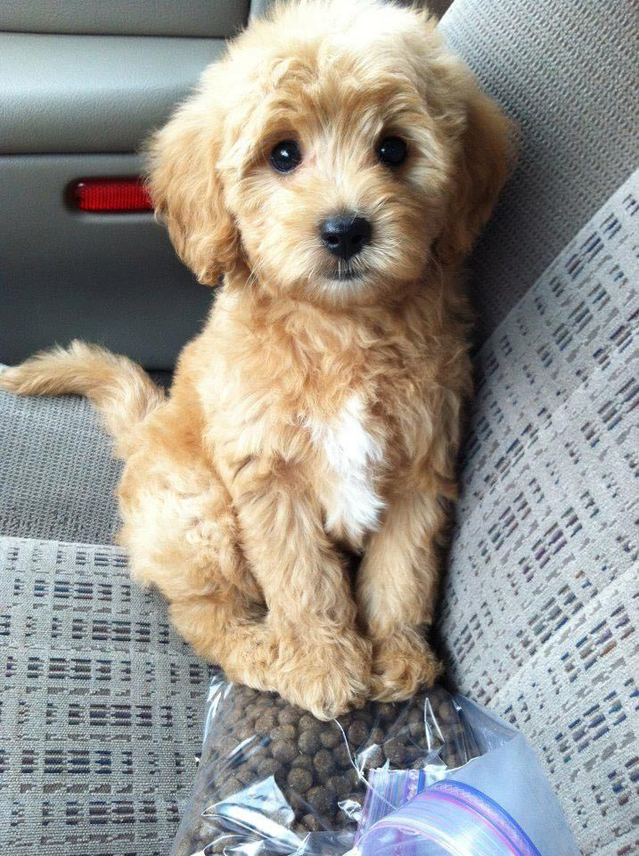 Golden Retriever Shih Tzu Mix Puppies