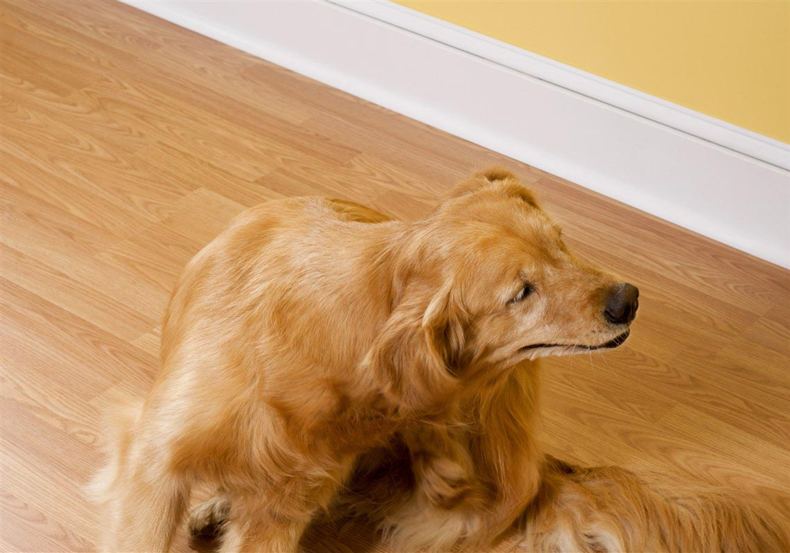 Golden Retriever Skin Disease