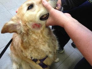 Golden Retriever Skin Problems Hot Spots