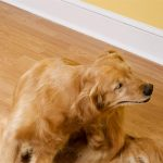 Golden Retriever Skin Problems Remedies
