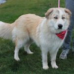 Great Pyrenees and Husky Mix Puppies