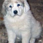 Great Pyrenees Husky Mix Info