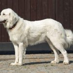 Great Pyrenees Husky Mix Shedding