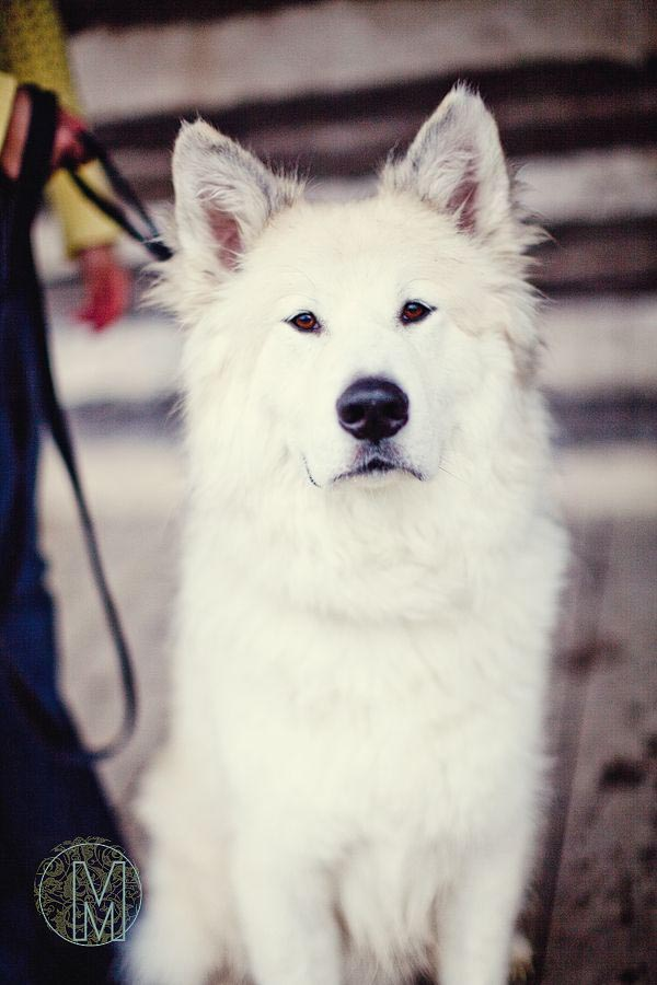 Great Pyrenees Husky Mix Size