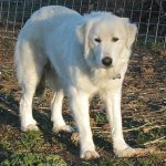 Great Pyrenees Husky Mix Temperament