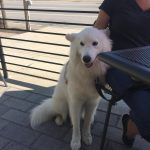 Great Pyrenees Husky Mix Traits