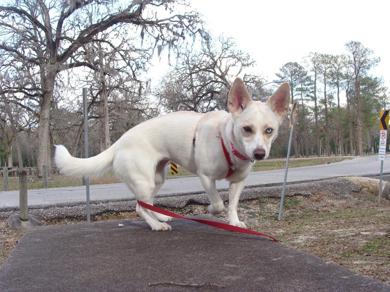 Half Chihuahua Half Husky
