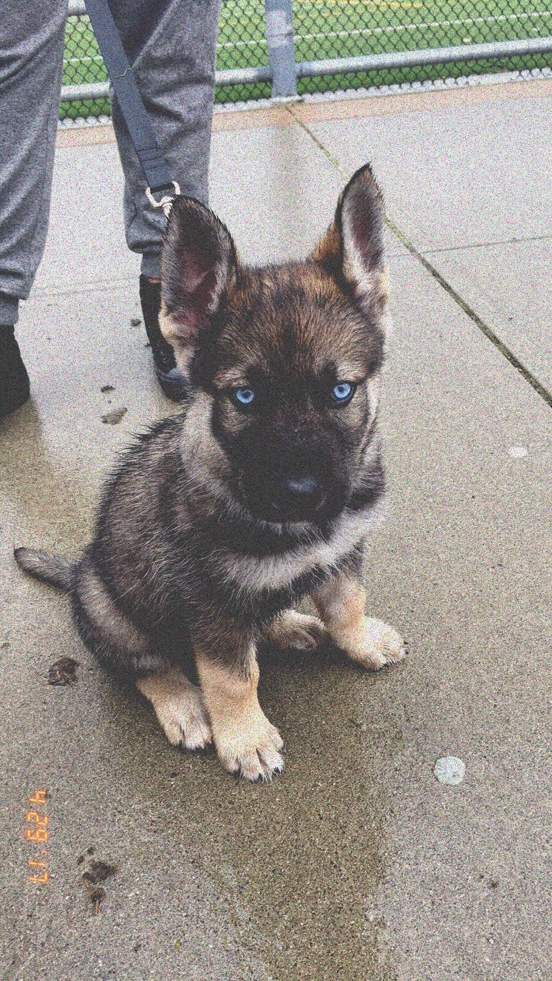 How Big is a 7 Week Old German Shepherd Puppy