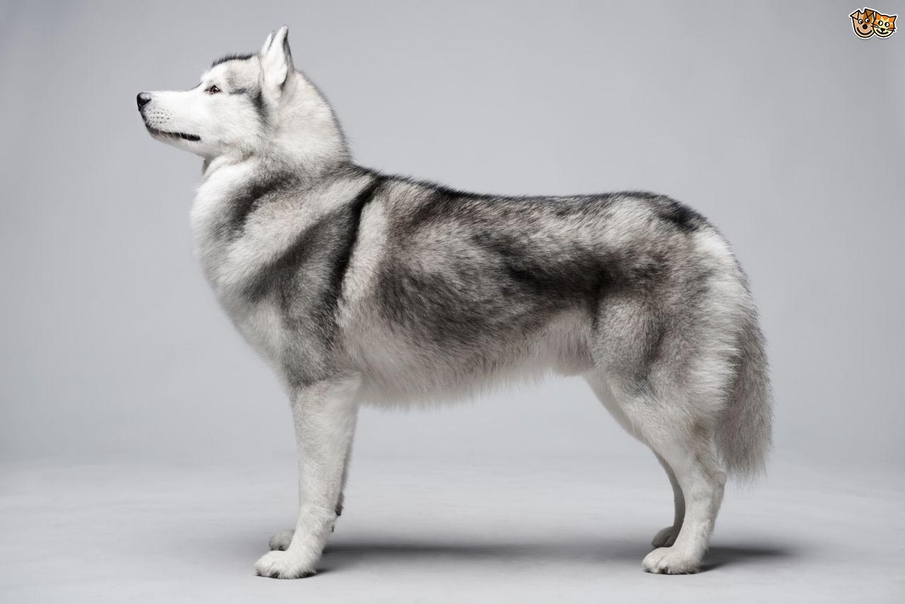 How Long are Siberian Huskies Pregnant