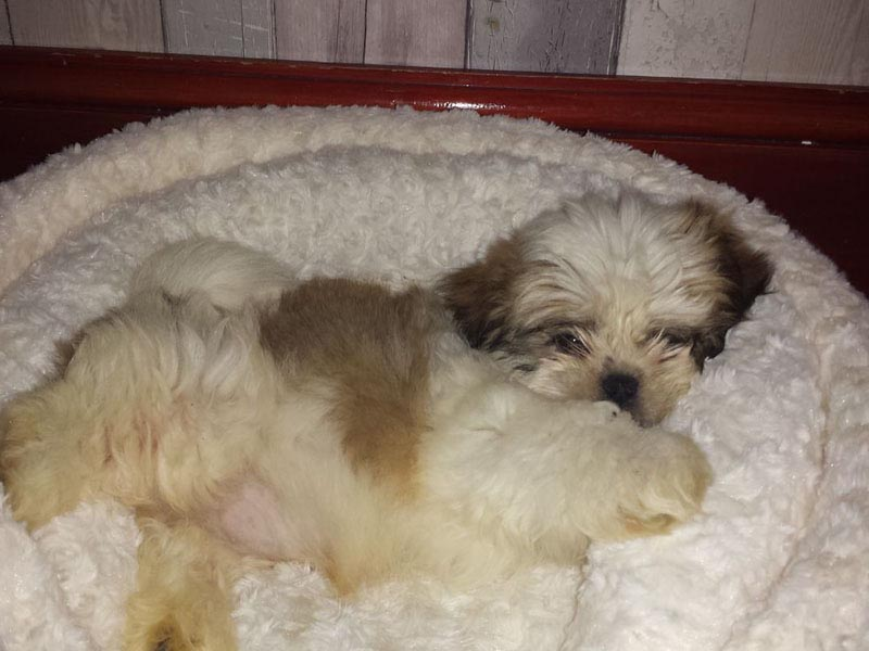 How Long Is A Shih Tzu Pregnant Dog Breed Information