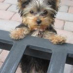 How Many Teeth Do Yorkshire Terrier Dogs Have