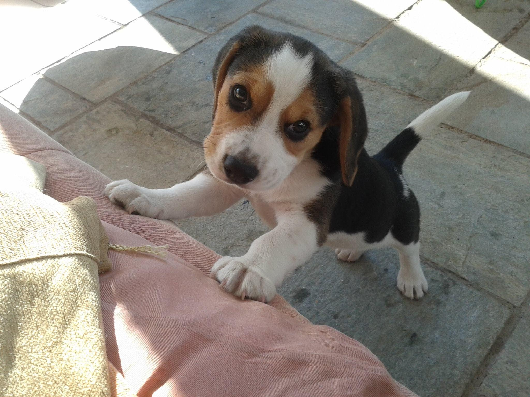 How Much Should I Feed a 4 Month Old Beagle
