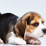 How Much to Feed 9 Week Old Beagle Puppy